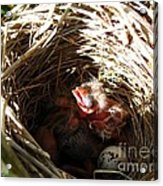 Red-winged Blackbird Babies And Egg Acrylic Print