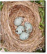 Red-winged Blackbird Nest Acrylic Print