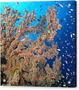 Reef Scene With Sea Fan, Papua New Acrylic Print