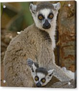 Ring-tailed Lemur Lemur Catta Mother Acrylic Print