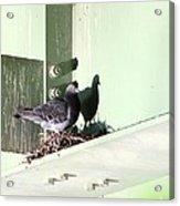 Rock Pigeon Acrylic Print