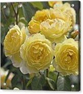 Rose (rosa 'charlotte Auspoly') Acrylic Print