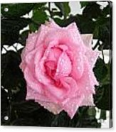 Rose With Droplets And Green Leaves Acrylic Print