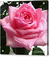 Rose With Water Droplets Acrylic Print