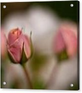 Roses Dream Acrylic Print