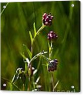 Rosy Pussytoes Wildflowers At Lake Irwin Acrylic Print