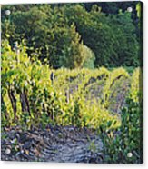Rows Of Grapevines At Sunset Acrylic Print