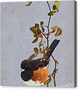 Rufous-sided Towhee Acrylic Print