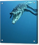 Saltwater Crocodile Crocodylus Porosus Acrylic Print by Mike Parry