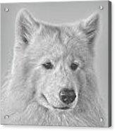 Samoyed Acrylic Print