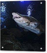 Sand Tiger Shark, Blue Zoo Aquarium Acrylic Print