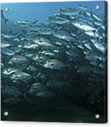 School Of Trevally Swimming By, Bali Acrylic Print