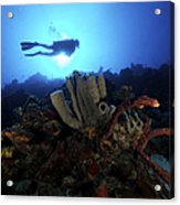 Scuba Diver Swims By Some Large Sponges Acrylic Print