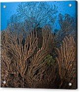 Sea Fan Seascape, Belize Acrylic Print