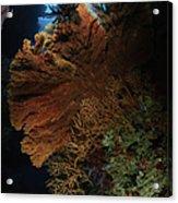 Sea Fans, Fiji Acrylic Print
