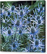 Sea Holly (eryngium X Oliverianum) Acrylic Print