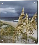 Sea Oats Uniola Panicolata Help Anchor Acrylic Print by David Alan Harvey