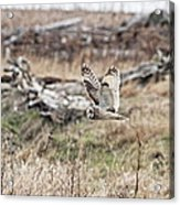 Short Eared Owl In Flight Acrylic Print