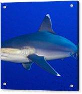 Silvertip Shark, Kimbe Bay, Papua New Acrylic Print