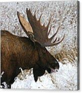 Snow Bull Acrylic Print