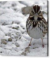Snow Sparrow Acrylic Print