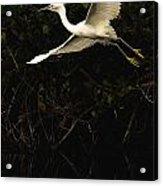Snowy Egret, Florida Acrylic Print