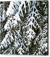 Snowy Fir Tree Acrylic Print