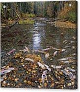 Sockeye Salmon Spawning Acrylic Print