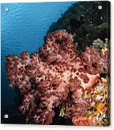 Soft Coral Seascape,  Indonesia Acrylic Print