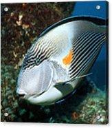Sohal Surgeonfish Acrylic Print by Georgette Douwma