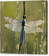 Southern Skimmer Orthetrum Brunneum Acrylic Print
