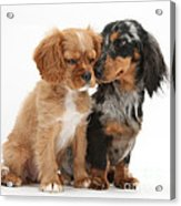 Spaniel & Dachshund Puppies Acrylic Print