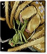 Spider Eating A Fly, Sem Acrylic Print by Volker Steger