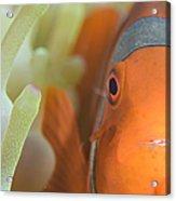 Spinecheek Anemonefish In Anemone Acrylic Print