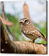 Spotted Owlet Acrylic Print