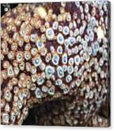 Spotted Starfish Acrylic Print