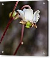 Spotted Wintergreen 2 Acrylic Print