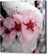 Spring Blossom Icicle Acrylic Print