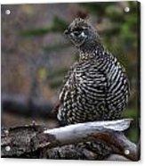Spruce Grouse Acrylic Print