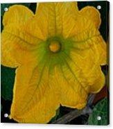 Squash Blossom Acrylic Print