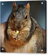 Squirrel Eating Corn Acrylic Print