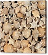 Star Sand Foraminiferans Acrylic Print