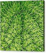 Stinging Nettle Leaf, Sem Acrylic Print