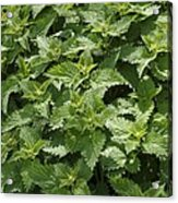 Stinging Nettle (urtica Dioica) Acrylic Print