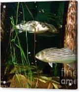 Striped Bass In Aquarium Tank On Cape Cod Acrylic Print
