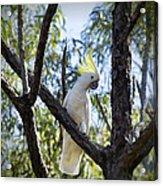 Sulphur Crested Cockatoo Acrylic Print