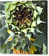 Sunflower 9 Acrylic Print