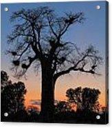 Sunset Baobab Acrylic Print