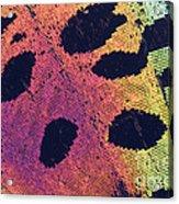 Sunset Moth Urania Ripheus Acrylic Print