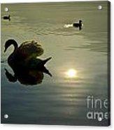 Swan And Ducks Acrylic Print